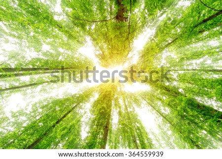 The eucalyptus many high into the sky . Photos in elevation Clear Dimly bright and sunny - stock photo