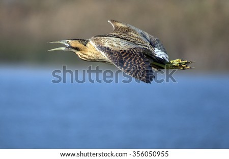 The Eurasian bittern or great bittern (Botaurus stellaris) in flight.Catalonia.Spain - stock photo