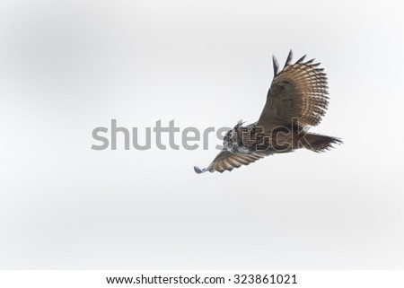 The Eurasian eagle-owl (Bubo bubo) in flight  - stock photo