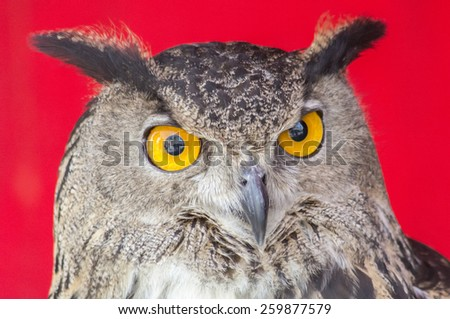 The Eurasian eagle-owl (Bubo bubo), species of eagle-owl resident in much of Eurasia - stock photo