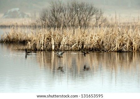 The Eurasian Teal (Anas crecca), who fly over the watersurface with a pair of geese in background, is a common and widespread duck. Captured in a marsh in Uppland, Sweden - stock photo
