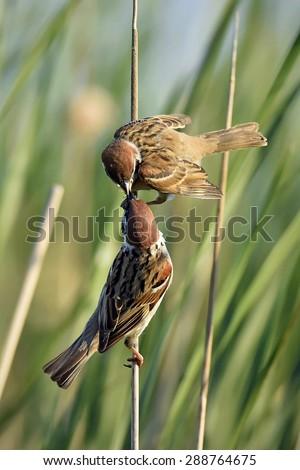 The Eurasian tree sparrow (Passer montanus).  The Adult bird feeding young bird.  - stock photo
