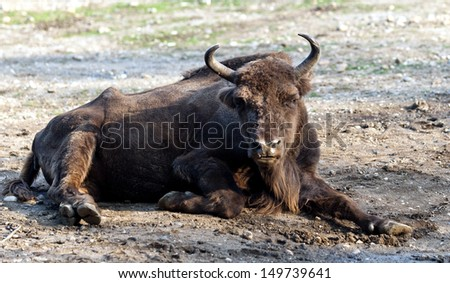 The European bison, also known as wisent or the European wood bison - stock photo