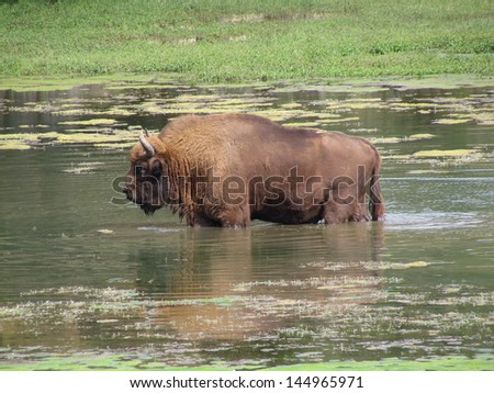 The European bison (Bison bonasus), also known as wisent  is a Eurasian species of bison. The European bison is the heaviest surviving wild land animal in Europe. - stock photo