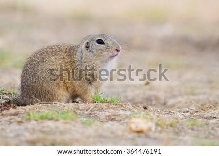 The European Ground Squirrel - stock photo
