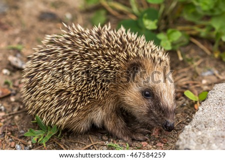 The European hedgehog (Erinaceus europaeus)