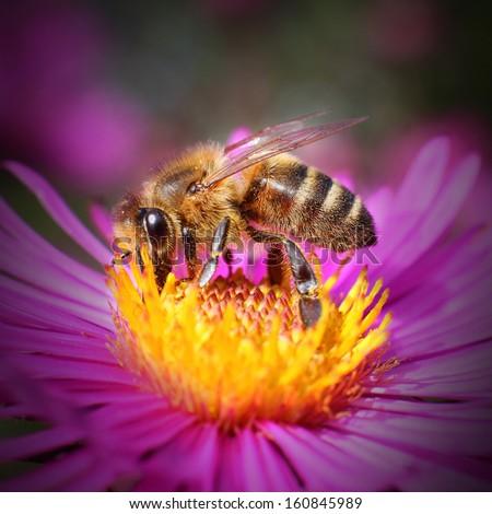 The European honey bee (Apis mellifera) pollinating  of The Aster (Symphyotrichum dumosum). - stock photo