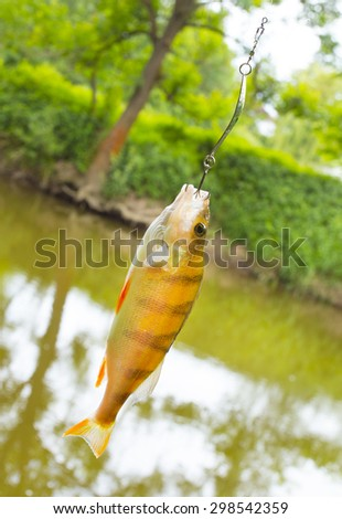 The European Perch (Perca fluviatilis) caught on spinning in a river. - stock photo