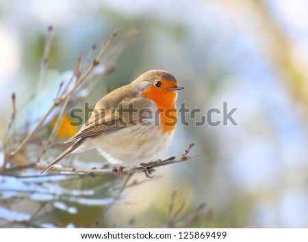 The European Robin (Erithacus rubecula) sitting on the twig. Closeup with shallow DOF. - stock photo