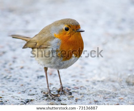 The European Robin sitting on the ground