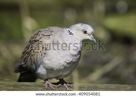 The European turtle dove (Streptopelia turtur) - stock photo
