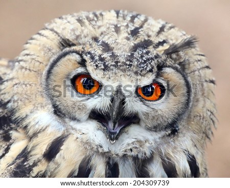 The evil eyes. Angry Eagle Owl, Bubo bubo.  - stock photo