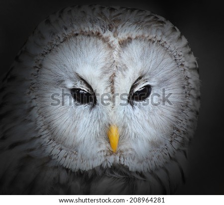The evil eyes. The Ural owl (Strix uralensis). - stock photo