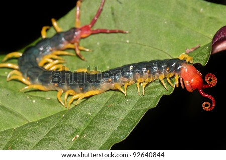 The extremely venomous Peruvian Giant Yellow-leg or Amazonian Giant Centipede (Scolopendra gigantea). These eat everything from insects to birds! Isolated on black, space for text. (Peruvian Amazon) - stock photo