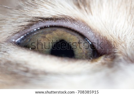 The eye of a small kitten . macro
