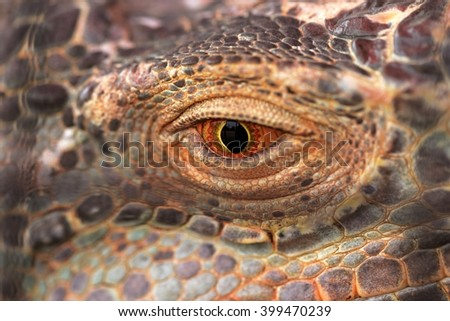 The eye of an iguana close up  - stock photo