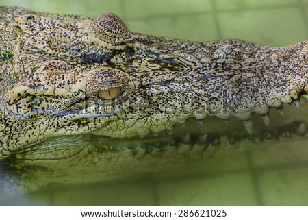 The eye of white crocodile in water