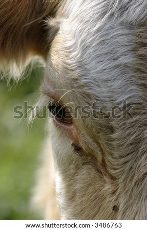 The eye on a cow - stock photo