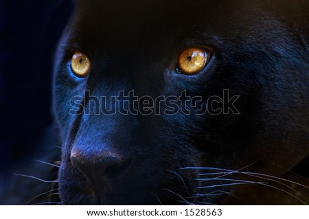 The eyes of a black panther - stock photo
