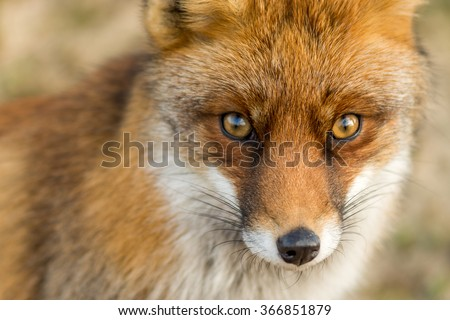 The Eyes of a Red European Fox - stock photo