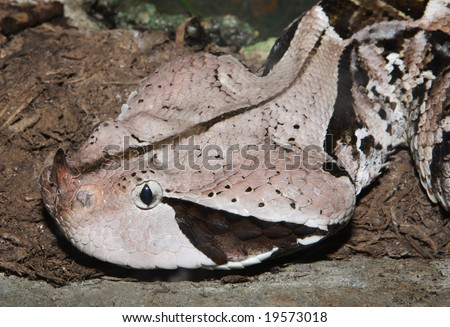 The face and horn of the deadly West African Gaboon Viper. - stock photo