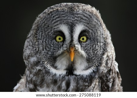 The face of a Great Grey Owl (Strix nebulosa).  - stock photo