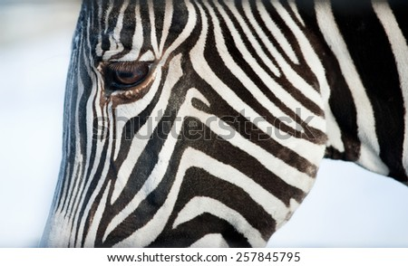 the face of a Grevy's zebra close up - stock photo