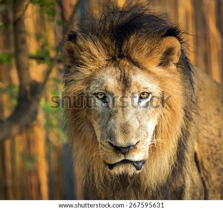 The Face Of A Lion . - stock photo