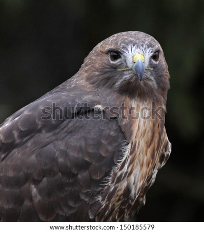 The face of a Red-tailed hawk (Buteo jamaicensis).