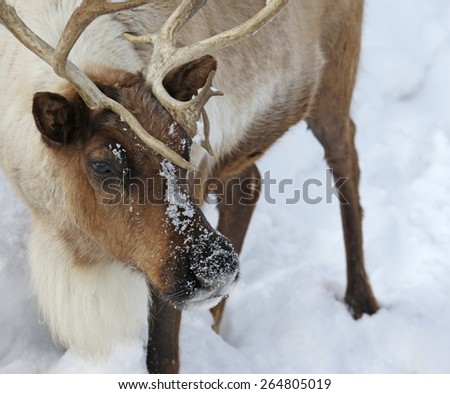 The face of a Reindeer (Rangifer tarandus) covered in snow after feeding.  - stock photo