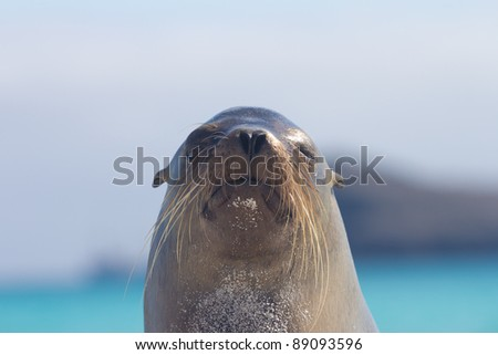 The face of a sea lion in the Galapagos Islands - stock photo