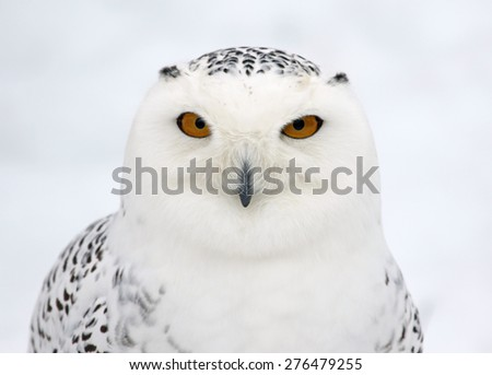 The face of a Snowy Owl (Bubo scandiacus).  - stock photo