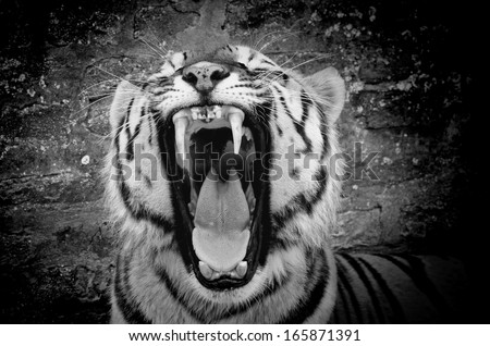 The face of a tiger on a grunge brick wall background, black&white, with vignette - stock photo