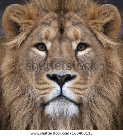 The face of an Asian lion. The King of beasts, biggest cat of the world, looking straight into the camera. The most dangerous and mighty predator of the world. Authentic beauty of the wild nature. - stock photo