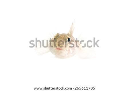 The Face of Dusky Frillgoby-Bathygobius fuscus, on white background.  - stock photo