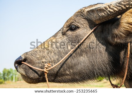 The face of the buffalo in the fields. - stock photo