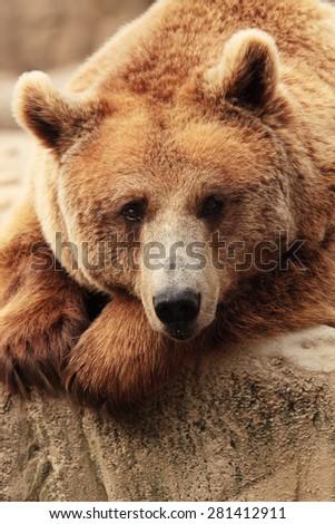 the face of wild bear - stock photo