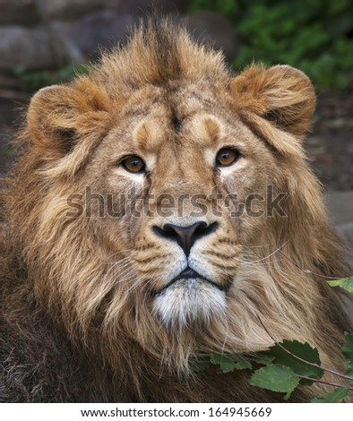 The face portrait of a calm lion. The head of the King of beasts, biggest cat of the world. The most dangerous and mighty predator of the world. Beauty of the wild nature. - stock photo
