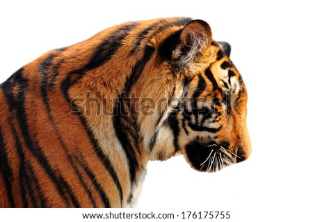 The face right side of bengal tiger - stock photo