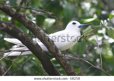 The Fairy tern (or holy ghost bird - species Sterna nereis) at rest in the Seychelles (Fregate island).