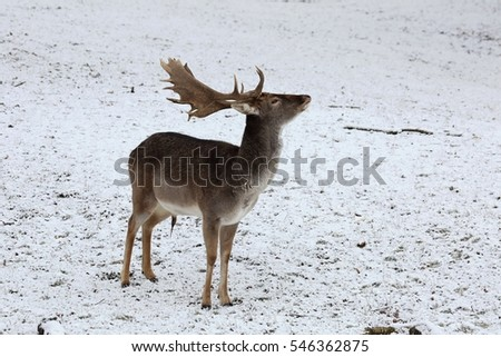 The fallow deer (Dama dama) in a winter landscape.