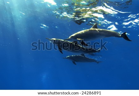 the family of red-sea whitesided-bottlenose dolphins on blue aquatic background - stock photo