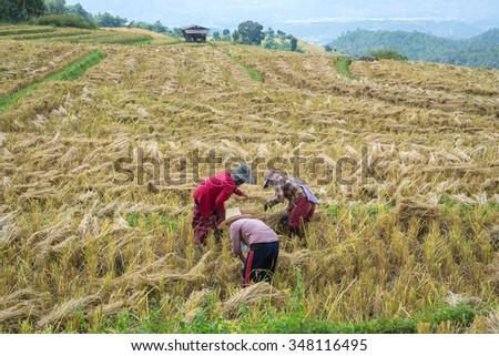 The Farmers are helping harvest rice by the traditional approach in the paddy field