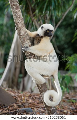 The fascinating life in the land of the lemur of Madagascar - stock photo