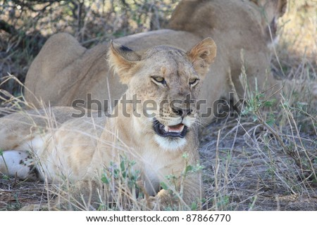 The female cub rests after a short attempt at feeding against her stronger brother. - stock photo