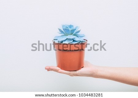 The female hand holds a pot of Echeveria against a light wall. Minimalist lifestyle concept.