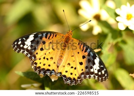 The female Indian Fritillary (Argynnis hyperbius) or female brush-footed japan butterfly.. - stock photo
