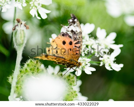 The female Indian Fritillary butterfly (Argynnis hyperbius),on the flower in japan