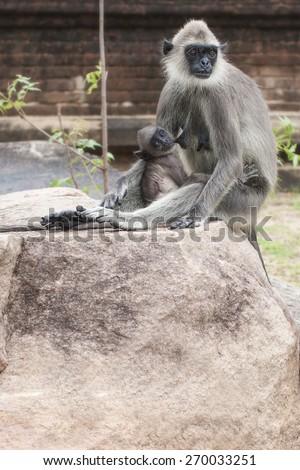 The female monkey breastfeeding her baby - stock photo