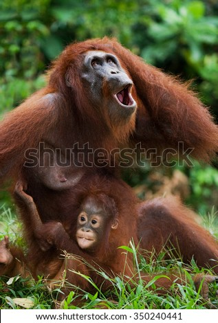 The female of the orangutan with a baby. Funny pose. Indonesia. The island of Kalimantan (Borneo). An excellent illustration.